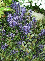 portland native plants ground covers provide popular lawn substitute whether solid