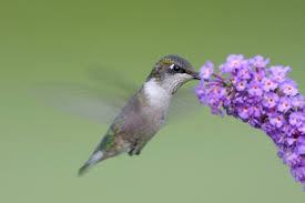 Hummingbird On A Flower - hummingbird food what do hummingbirds eat