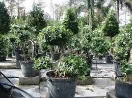 Bougainvillea Topiary - tropical landscapers plantant com