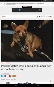 Memes De Chihuahua - c mamo c mamo el perrito c mamo guerra de memes amino amino