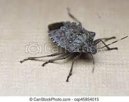 was ist das für ein insekt eine wanze oder was urlaub insekten brauner stinken insekt marmorated tier wanze brauner