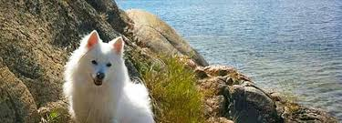 american eskimo dog short hair what are the top 10 dog breeds that shed the most