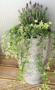 Indoor Vine Plants 24 Best Vines For Containers Climbing Plants For Pots Balcony