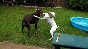 2 female boxer dogs together doberman vs boxer youtube