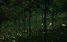 How Do Fireflies Light Up See It Thousands Of Fireflies Light Up The Night In Italian