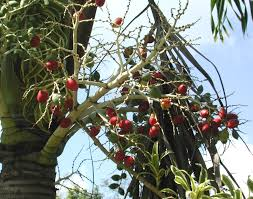 veitchia merrillii christmas palm manila palm adonidia dwarf