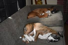 boxer dog upset stomach fundraiser by kelsea mcbee help bronson the boxer dog fight