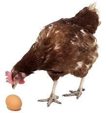 how does my hen produce an egg every day find out here