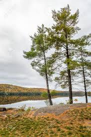 white pine trees pinus strobus next to a lake in autumn