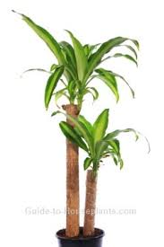 corn plant care tips dracaena fragrans u0027massangeana u0027