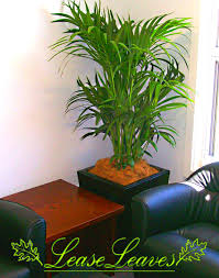 indoor palm bamboo palm indoor plant leaseleaves indoor plant hire