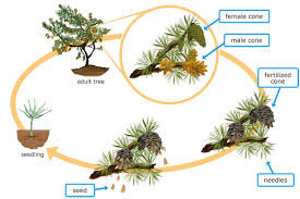 Life Cycle Of A Flowering Plant - ixl flowering plant and conifer life cycles 6th grade science