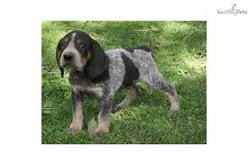 bluetick coonhound kennels in ga bluetick coonhound puppies puppy dog gallery