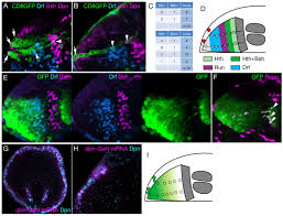 concentric zones cell migration and neuronal circuits in the