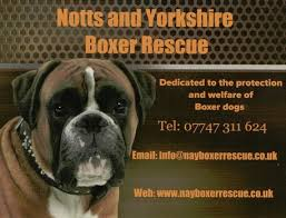 boxer dog yorkshire the anglian boxer club