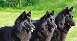 belgian sheepdog varieties belgian shepherds huge bundles of energy u2013 dogs and pups magazine