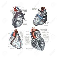 4 views of the human heart from an atlas of human anatomy stock