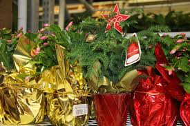 caes newswire living christmas trees