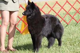 belgian sheepdog canada belgian sheepdog breed information belgian sheepdog images