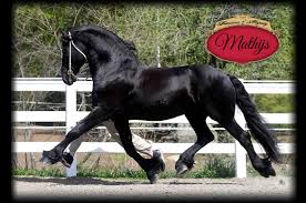 home friesians of majesty friesian stallions and horses for sale