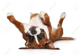 boxer dog feet resting images u0026 stock pictures royalty free resting photos and