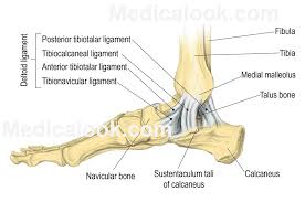 Anatomy Of The Calcaneus Talocrural Joint Human Anatomy Organs