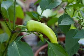 Green Chilli Plant Diseases - when are my chillies ripe