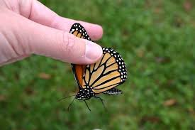 if you touch a butterfly s wings can it still fly