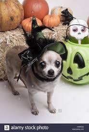 green hat dog dogs silly puppy halloween costume pumpkin