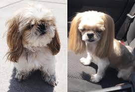 shih pooh haircut shih tzu haircuts before and after goldenacresdogs com