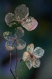 the 25 best hydrangea petiolaris ideas on pinterest climbing