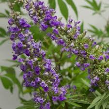 tree with purple flowers 3 gal vitex agnus castus chaste tree live deciduous shrub tree
