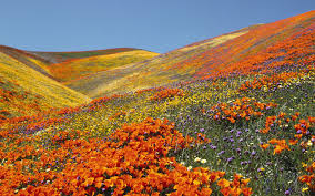 Flower Field Wallpaper - unexpected flowers fields spring flowers and california poppy