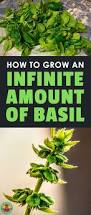 growing basil planting cultivating harvesting and storing