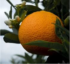 ornamental fruit plants buy ornamental fruit plants at