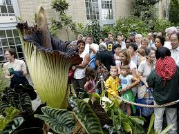 corpse flowers in dc new york set to release u0027stench of rotting