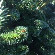 fresh cut christmas trees near me christmas tree nordmann fir