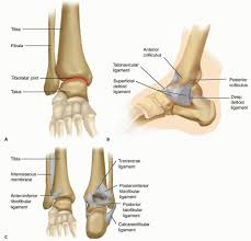 Talus Ligaments Open Reduction And Internal Fixation Of The Mature Ankle