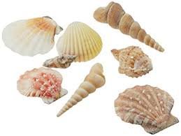 assorted seashells creative hobbies sea shells mixed seashells
