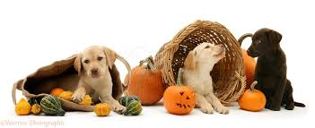 animals halloween dogs labrador pups at halloween photo wp14559
