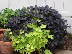 tip cutting sweet potato vine ornamental sweet potato vine