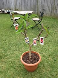sydney frangipani growers summer 2015 rainbow trees for sale