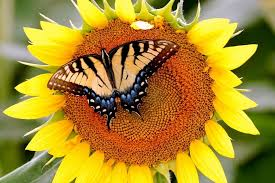 sunflower butterfly wallpaper nature and landscape