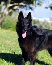 belgian sheepdog what s good about em groenendael belgian shepherd dog