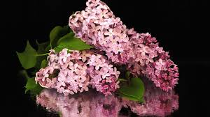 flowers hydrangeas hydrangea flowers nature desktop wallpapers