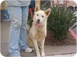 australian shepherd mixed with husky chianti adopted dog southern california ca siberian husky