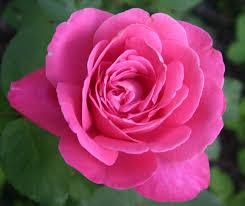 pitcher of roses sueraypole gerald s