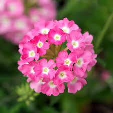 verbena flower verbena aztec pink log house plants växter
