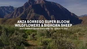 anza borrego super bloom wildflowers u0026 bighorn sheep 2017 anza