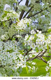 ornamental pear tree in bloom up on flowers stock photo